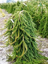Cute Dwarf Weeping Norway Spruce For Landscaping Ideas