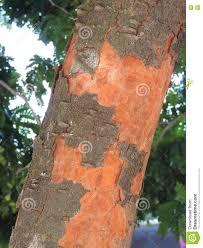 100 Pau Brazil Brasil Stock Photo Image Of Trunk Plant Tree Reddish