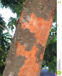 100 Pau Brazil Brasil Stock Photo Image Of Trunk Plant Tree Reddish