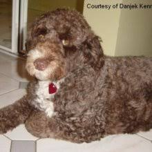 Portuguese Water Dog Shedding Problems by Portuguese Water Dog Puppies For Sale