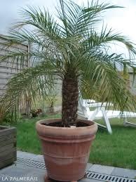 prix des palmiers exterieur l entretien des palmiers la palmeraie fr