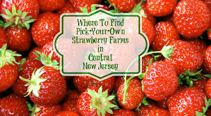 Chesterfield Berry Farm Pumpkin Patch 2015 by Where To Find Pick Your Own Strawberry Farms In Central New Jersey