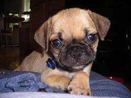 do pugs and puggles shed puggle dogs 101 facts and information puggle animal facts