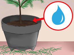 Christmas Tree Saplings For Sale Ireland by How To Care For A Norfolk Pine 15 Steps With Pictures Wikihow