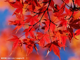 Maple Leaves Wallpapers Colorful Backgrounds