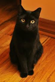 bombay cats beautiful of cat bombay black cats beautiful