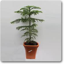 Christmas Tree Saplings Ireland by Buy Christmas Tree Plant Online At Nursery Live Best Plants At