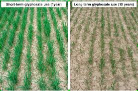 Wheat Affected After 10 Years Of Glyphosate