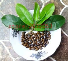 Christmas Tree Saplings Ireland by Online Buy Wholesale Graviola Tree Seeds From China Graviola Tree