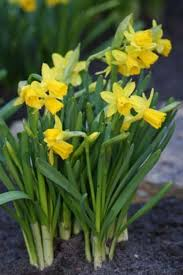 58 best flower bulbs daffodils images on daffodils
