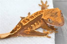 Crested Gecko Shed Box by Crested Gecko Fancy Morphs Like This One Will Cost More
