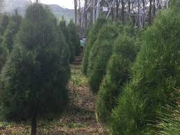6ft Christmas Tree Nz by Christmas Trees Individually Trimmed Pyramid Shaped Trees