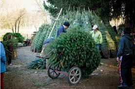 Christmas Tree Hill Shops Lancaster Pa by Misty Run Tree Farm Lebanon U0027s Largest Choose U0026 Cut Christmas