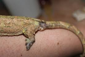 Crested Gecko Shed Stuck On Eye by All Categories