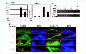 Uvb Tanning Beds melanocyte stimulating hormone directly enhances uv induced dna