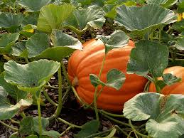 Types Of Pumpkins For Baking by Pumpkin Varieties That Are Easy To Grow