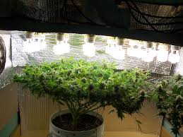 Grow Lamps For House Plants by Lights In My Grow Room Good Enough Indoor Lights U0026 Ventilation