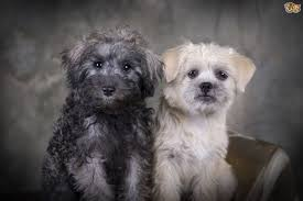 Do Morkies Shed A Lot by The Main Characteristics Of The Schnoodle Dog Pets4homes