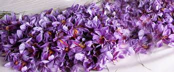 grow your own saffron the world s most expensive spice