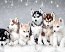 Do Pomskies Shed Fur by Pomsky Puppies Pomsky Puppies Hd Wallpaper 1080p Download This