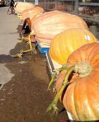 Atlantic Giant Pumpkin Growing Tips by Roaming Rita