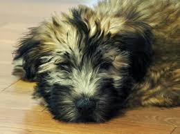 Do Wheaten Terrier Puppies Shed by Sophie The Soft Coated Wheaten Terrier Puppies Daily Puppy