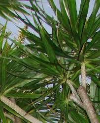 drachenbaum pflege pflanzenfreunde