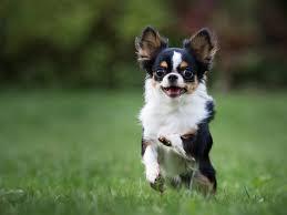 Small Non Shedding Dogs Australia by Cute Small Medium Dog Breeds Dog Breeds Puppies Small Medium Dog
