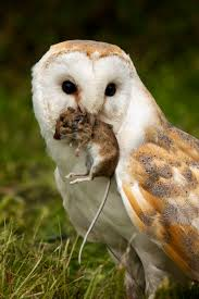 Barn Owls Are Great Mousers - Meet Your Mouse White And Brown Barn Owl Free Image Peakpx Sd Falconry Barn Owl Box Tips Encouraging Owls To Nest Habitat Diet Reproduction Reptile Park Centre Stock Photos Images Alamy Bird Of Prey Tyto Alba Video Footage Videoblocks Barn Owl Tyto A Heart Shaped Face Buff Back Wings Bisham Group Bird Of Prey Clipart Pencil In Color British Struggle Adapt Modern Life Birdguides Beautiful Owls Pulborough Brooks The
