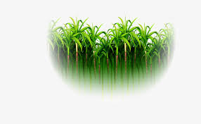 Green Simple Sugarcane Forest Sugar Cane PNG Image And Clipart