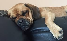Best House Dogs That Dont Shed by 10 Lazy Dog Breeds Perfect For Apartment Living