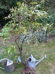 pivoine herbacee en pot en septembre 2009 arrosoirs et sécateurs