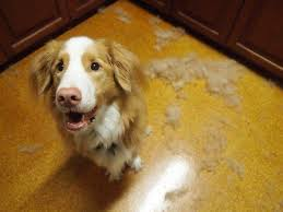 Do All Dogs Shed Fur by Hairballs In Dogs Treatment And Prevention
