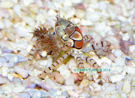 Halloween Hermit Crab by A Databank Of Knowledge For Fishkeeping