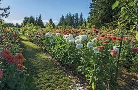 k bourgondien sons wholesale flower bulbs and perennials
