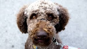 Clinton Cabinet Member Federico Crossword by 100 Hypoallergenic Non Shedding Dog Breeds 2827 Best Dog