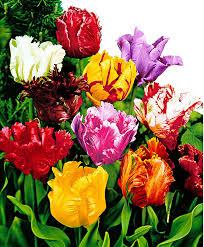 buy 40 parrrot tulip bulbs 4 varieties blue parrot black