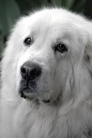 great pyrenees puppy sweetest dogs ever dogs pinterest