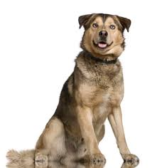 Low Shedding Big Dogs by The German Shepherd Husky Mix A K A Gerberian Shepsky U2013 All You
