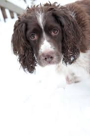 Springer Spaniel Shed Hunting by 251 Best English Springer Spaniel Lovers Images On Pinterest