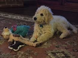 Do F2 Cockapoos Shed by Labradoodle 101