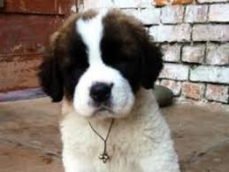 Do Short Haired Saint Bernards Shed by Saint Bernard Dog Breed Image And Facts Petmd