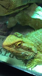 Bearded Dragon Heat Lamp Broke by Bearded Dragons Pics