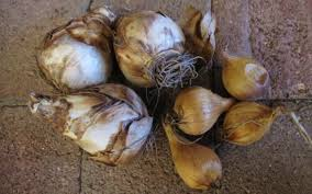 dig in plant bulbs in fall for show