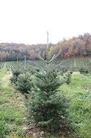Krinner Christmas Tree Genie Xxl Deluxe by Get To Know Your Christmas Tree Tips For Real Christmas Tree Lovers