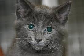 adopt a cat cat adoption