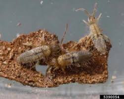 Kill Springtails In Bathroom by Rainy Weather Can Mean Jumping Springtails Colonial Pest Control