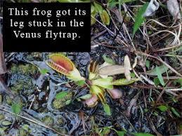 encyclopedian dictionary venus flytrap dionaea muscipula j