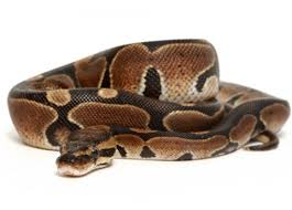 Ball Python Shedding Eating by Ball Python Care Sheet