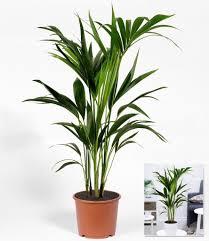 zimmerpflanze kentia palme 1 pflanze zimmerpalme paradiespalme